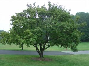 Acer ginnala gammelt tre