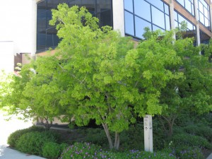 Acer ginnala grønt tre
