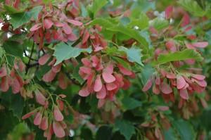 Acer ginnala rakler