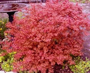 Acer palmatum Beni Hime