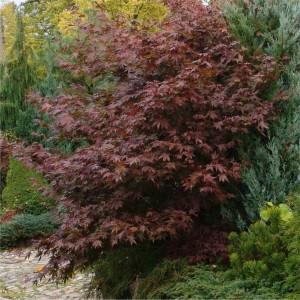 Acer palmatum Bloodgood_stor