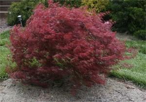 Acer palmatum Crimson Queen_stor
