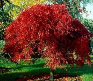 Acer palmatum Dissectum Atropurpureum_stor