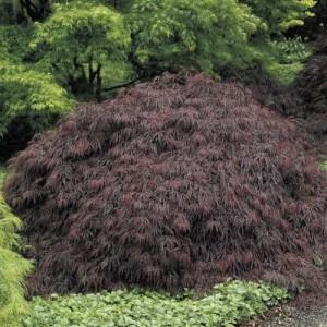 Acer palmatum Dissectum Burgundy Lace_stor