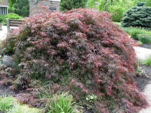 Weeping cutleaf red Japanese maple 'Crmison Queen' at HACC's Clock Tower Garden