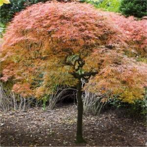 Acer palmatum Dissectum Ornatum_stor