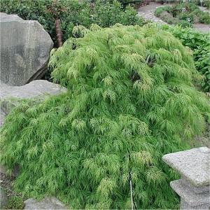 Acer palmatum Dissectum Viride_stor