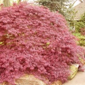 Acer palmatum Garnet_stor