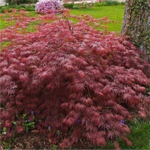 Acer palmatum Inaba Shidare_stor
