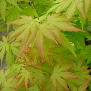 Acer palmatum Orange Dream_stor