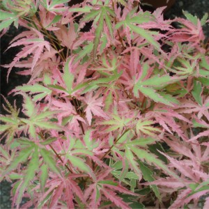 Acer palmatum Taylor_stor