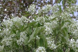 Amelanchier alnifolia Alvdal