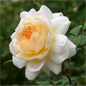 BUSKROSE Crocus Rose_liten