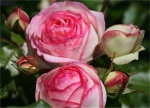 BUSKROSE Eden Rose