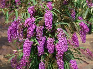 Buddleia davidii Nanho Purple