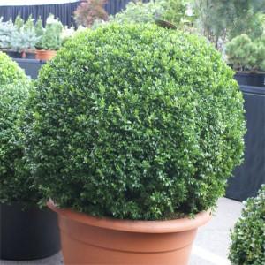 Buxus michrophylla Faulkner TPot