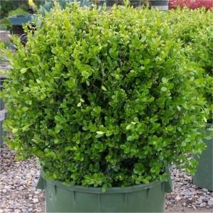 Buxus michrophylla Faulkner kule