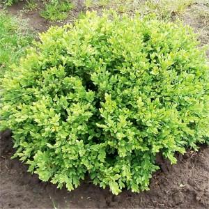 Buxus sempervirens Green Velvet
