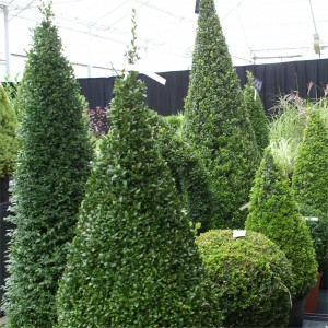 Buxus sempervirens pyramide 001 (2)