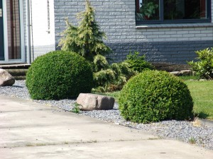 Buxus.sempervirens-bol