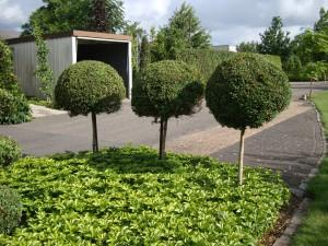 Buxus.sempervirens-stam