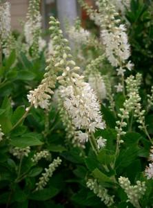 Clethra_alnifolia