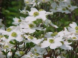 Cornus Florida blomst