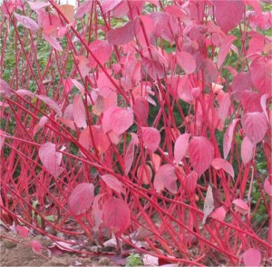 Cornus alba Sibirica røde grener