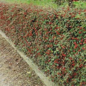 Cotoneaster dammeri Hjeltnes