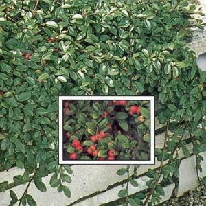 Cotoneaster dammeri Repandens