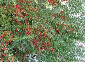 Cotoneaster horizontalis  'Spreed'