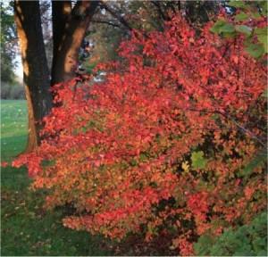 Cotoneaster lucidus Romsdal busk