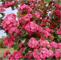 Crataegus laevigata Pauls Scarlet busk
