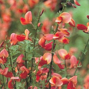 Cytisus purpureus Atrorubens