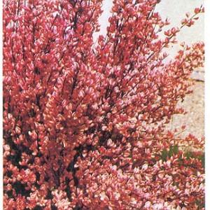 Cytisus purpureus Frisia