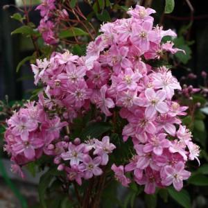 Deutzia elegantissima Rosealind