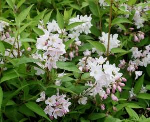 Deutzia kalmiaeflora