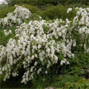 Exochorda racemosa The Bride