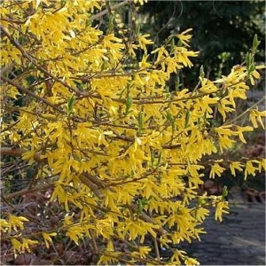 Forsythia hybrid Northern Gold