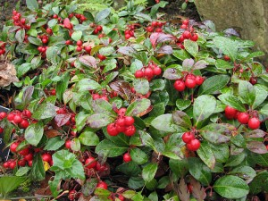 Gaultheria procumbens Jingle Bells