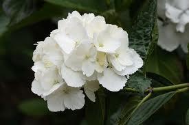 Hydrangea macrophylla Alba