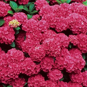 Hydrangea macrophylla rød