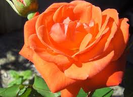 KLASEROSE Orange Sensation 001
