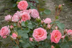 KLASEROSE Rosali 83