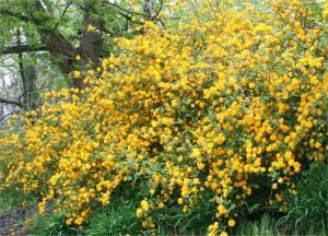 Kerria japonica Pleniflora 002