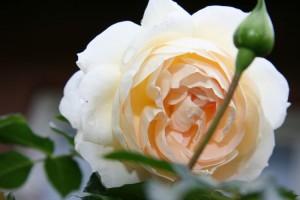 Klaserose Marie Antoinette