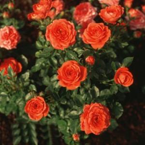 MINIATYRROSE Orange Juwel