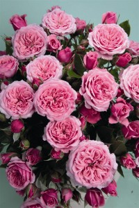 MINIATYRROSE Pink Babyflor