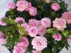 MINIATYRROSE Pink Garnett