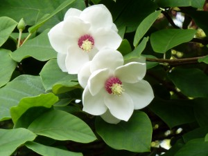 Magnolia Sieboldi 001